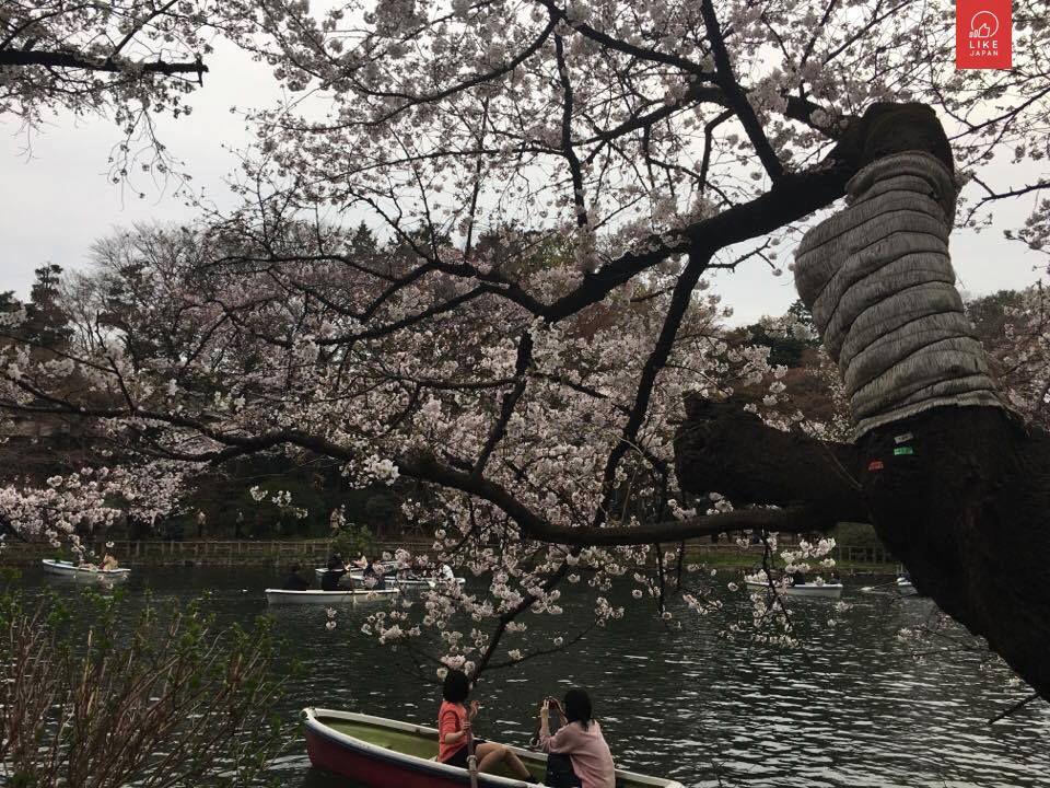 井の頭公園 扮日本人賞花指南