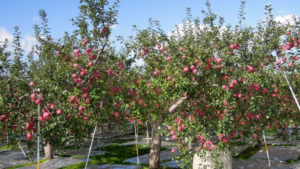 去青森親手摘蘋果!「弘前蘋果公園」果樹多達1,500棵!